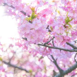 【お花見ディズニー】するなら今! 平成最後の桜は、最高の思い出になること間違いなしの夢の国へGO!