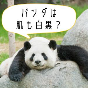 【クイズ】パンダって、皮膚も白黒? #40代の新常識向上委員会
